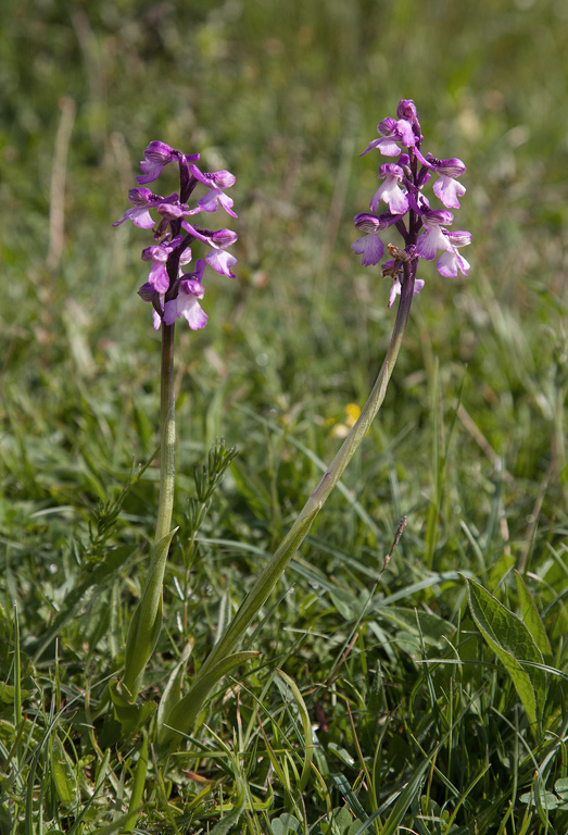 Green Winged Orchid Upwood Meadow